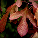 Sassafras leaves herald the Autumnal Equinox