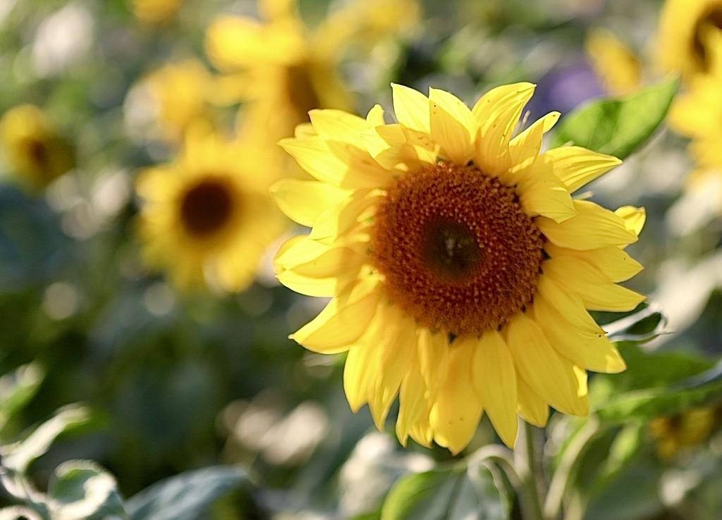 Sunflower Sunshine by carole_sandford