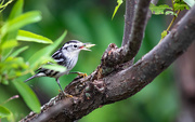 22nd Sep 2020 - A hungry black and white Warbler