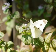 23rd Sep 2020 - A Delicate Butterfly on a Delicate Flower