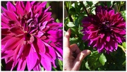 23rd Sep 2020 - Well Hello, Dahlia!