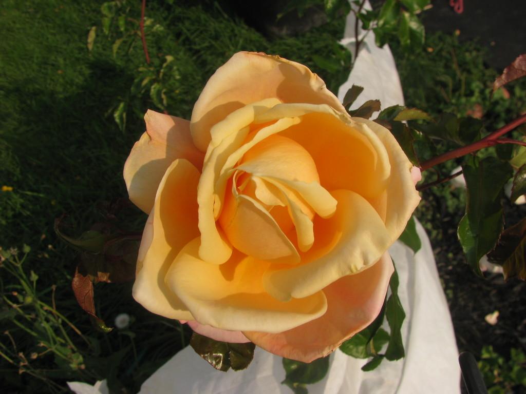 Rose by rrt