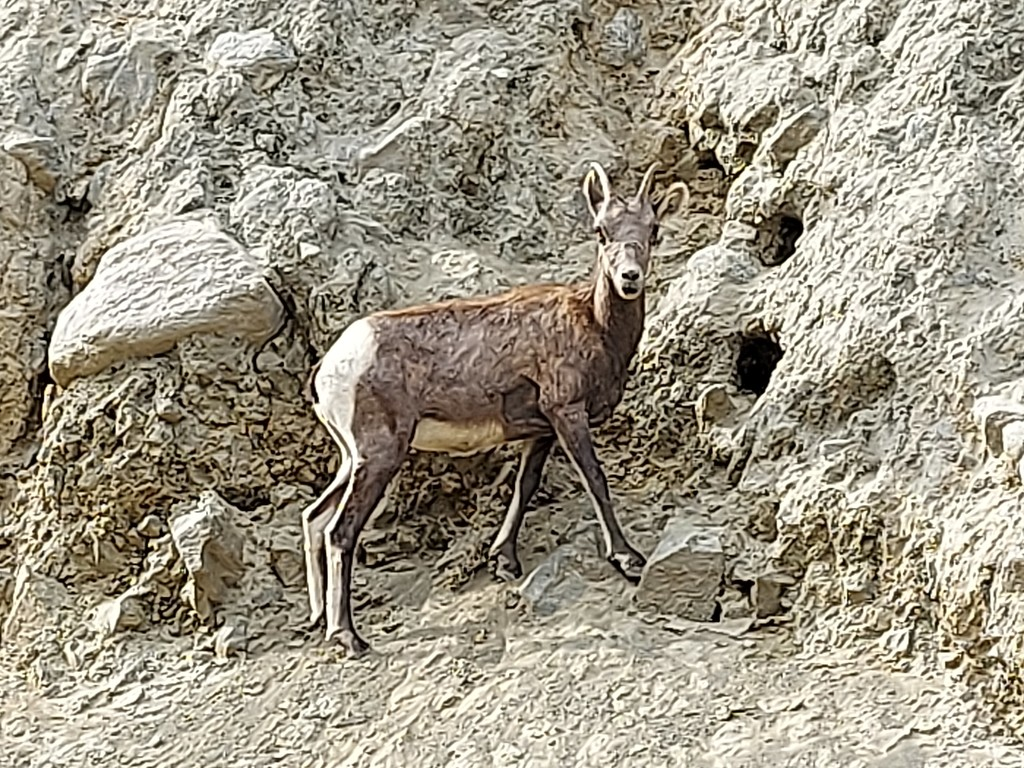 Young Bighorn Sheep by harbie
