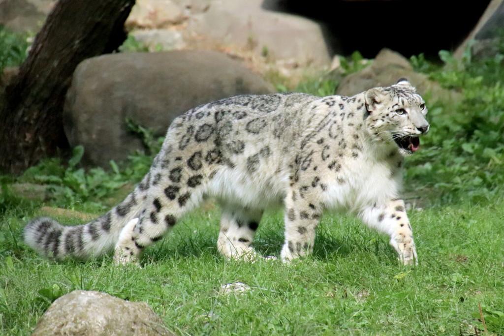 Momma Snow Leopard by randy23