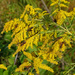 Goldenrod with insects