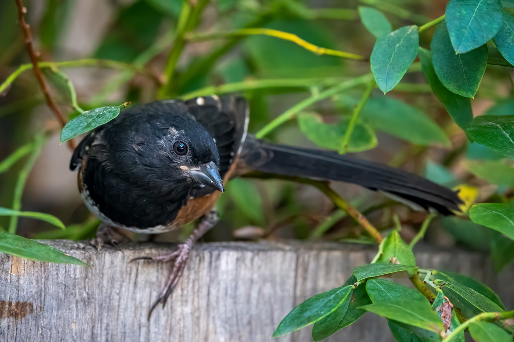 Young Spotted Towhee by nicoleweg