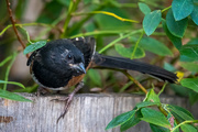 22nd Sep 2020 - Young Spotted Towhee