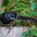 Young Spotted Towhee