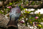 23rd Sep 2020 - New Zealand wood pigeon