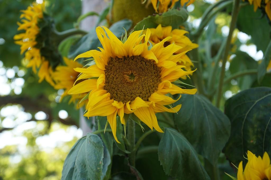 sunflowers galore by quietpurplehaze