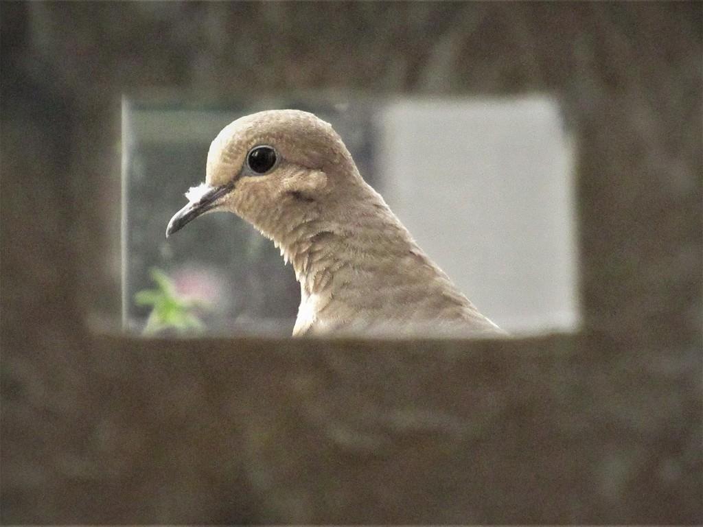 Dove, framed by granagringa