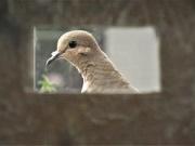 20th Sep 2020 - Dove, framed