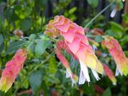 23rd Sep 2020 - Prawn flowers