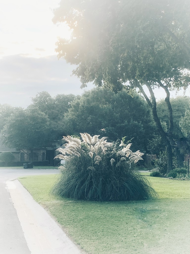 Pampas Grass in the sunshine by louannwarren
