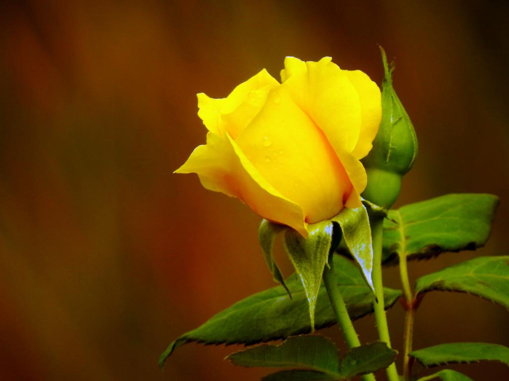 Yellow Rose by seattlite