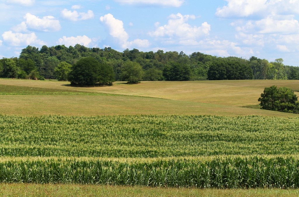 Rows of corn by mittens