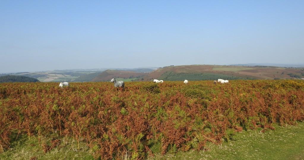 Ponies on Hergest Ridge  by susiemc