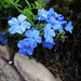 Plumbago by loweygrace