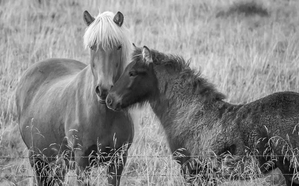 Icelandic Horses by pdulis
