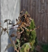 23rd Sep 2020 - Snacking Spider