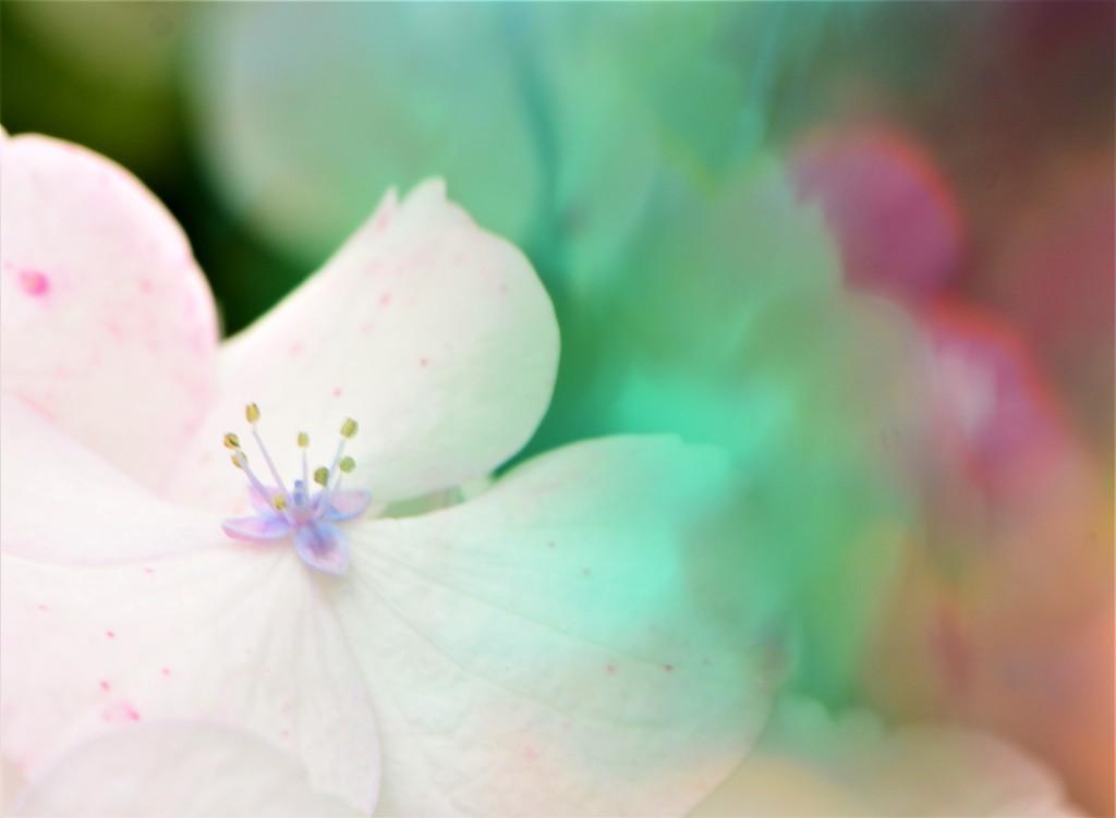 Hydrangea........... by ziggy77