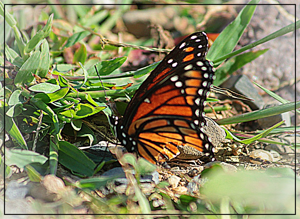 Monarch by olivetreeann