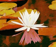 23rd Sep 2020 - Water Lily