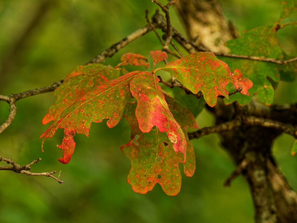 white oak leaves by rminer