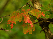 23rd Sep 2020 - white oak leaves