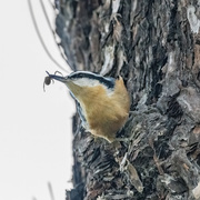 22nd Sep 2020 - Red-Brested Nuthatch with Lunch
