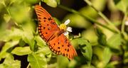 23rd Sep 2020 - Gulf Fritillary Butterfly!