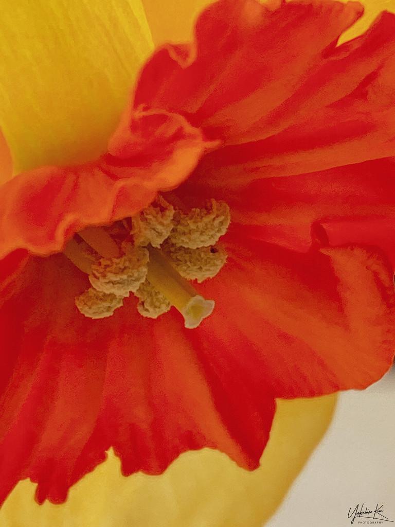 Daffodil by yorkshirekiwi