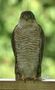 24th Sep 2020 - SparrowHawk