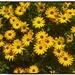 Yellow Daisies ~