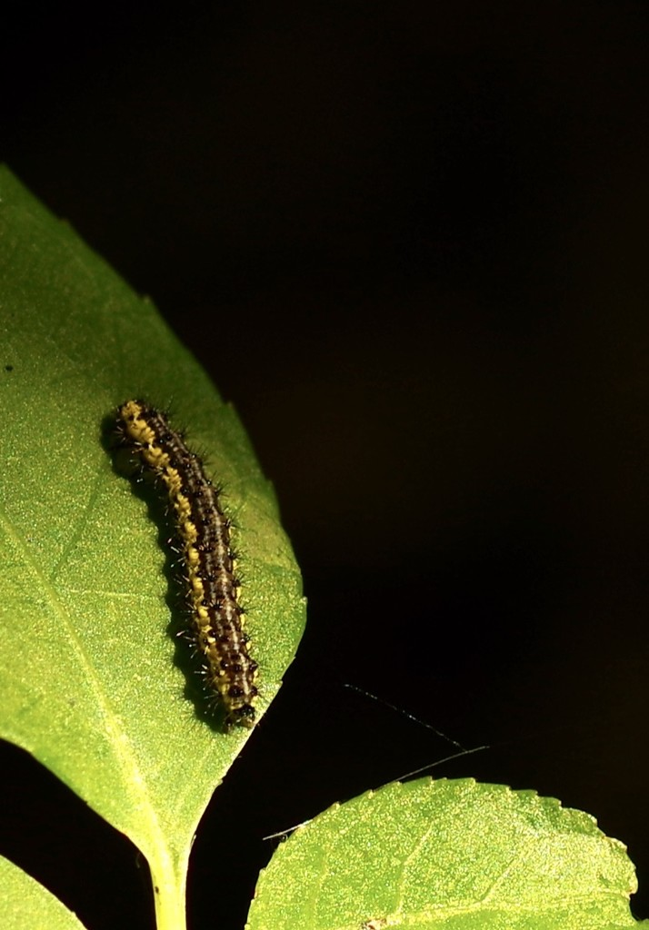 Caterpillar  by mzzhope