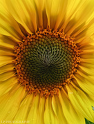 24th Sep 2020 - S Is For Tiny Sunflower!