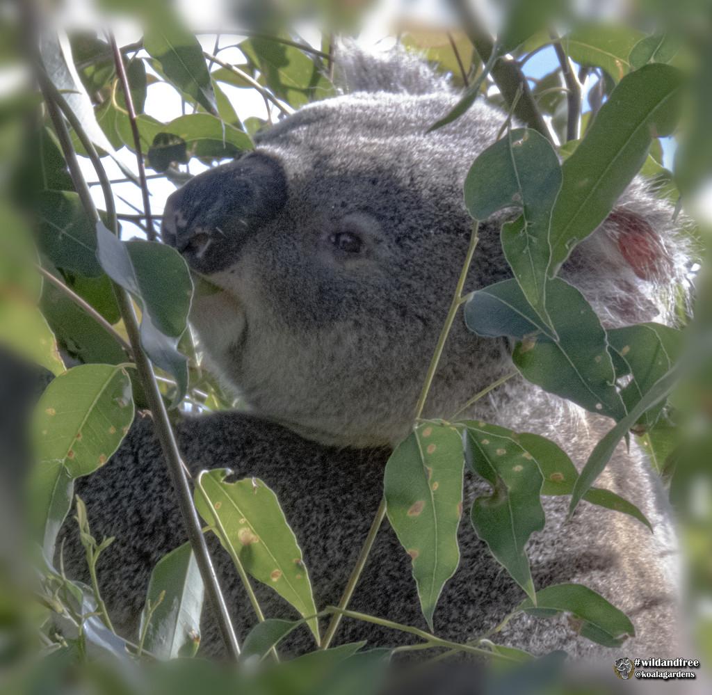 tallowwood bliss by koalagardens