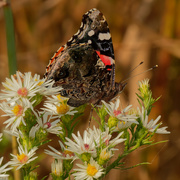 24th Sep 2020 - red admiral butterfly