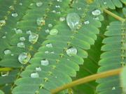 24th Sep 2020 - Raindrops on Plant Leaves