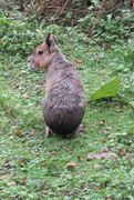 24th Sep 2020 - Patagonian hare