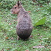 Patagonian hare