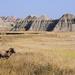 Bighorn Sheep, Badlands National Park (Pt. 2)