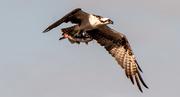 24th Sep 2020 - Lucky Osprey!