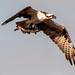 Lucky Osprey!
