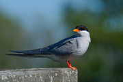 25th Sep 2020 - Black fronted tern