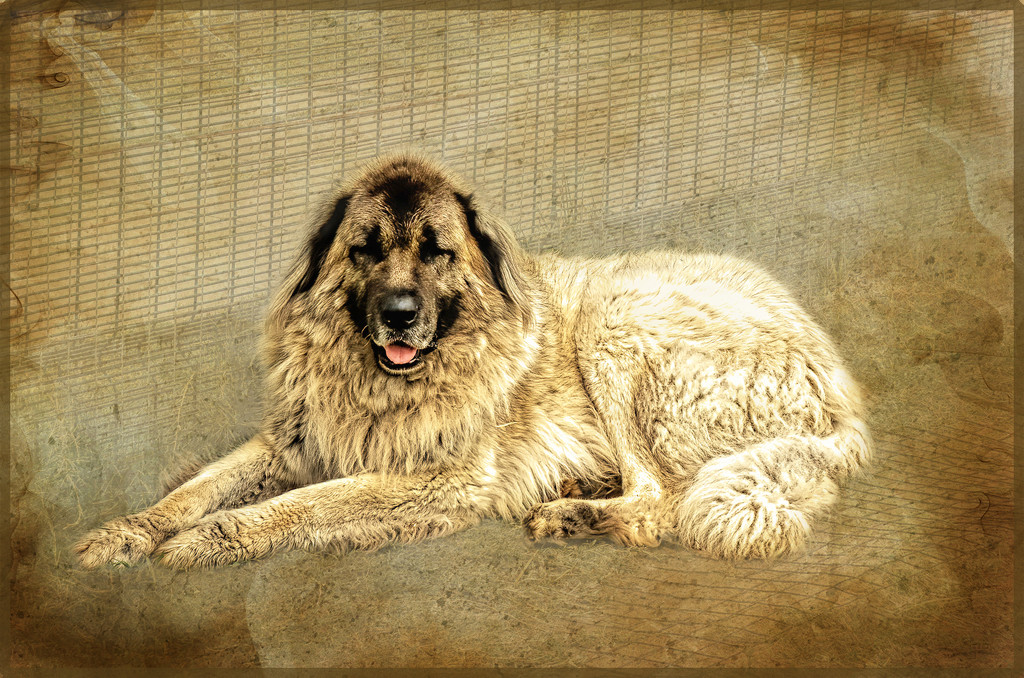 Anatolian Shepard dog by ludwigsdiana