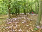 25th Sep 2020 - Autumn Cyclamen