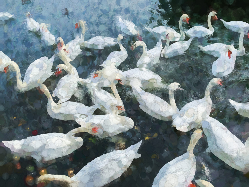 Swans by pamknowler