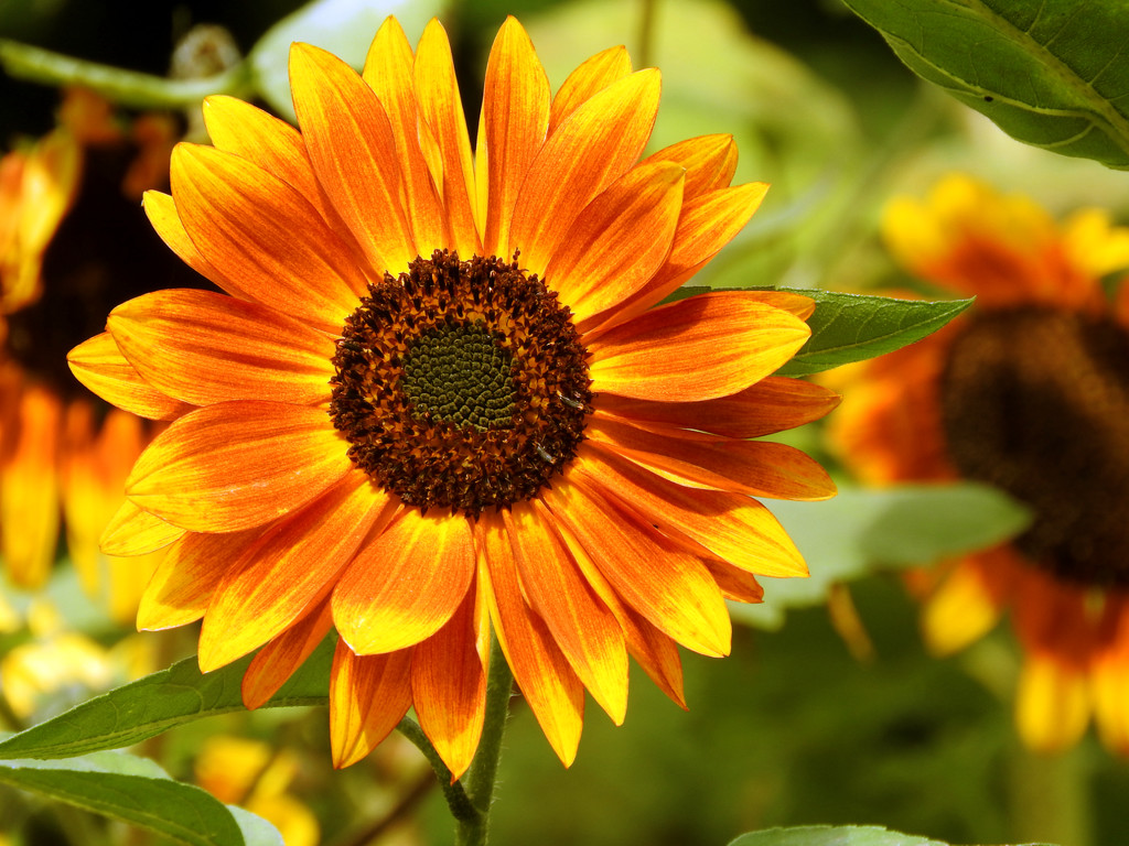 Fall Sunflower by seattlite