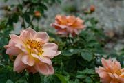 25th Sep 2020 - Roses...